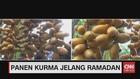 VIDEO: Panen Kurma Jelang Ramadan
