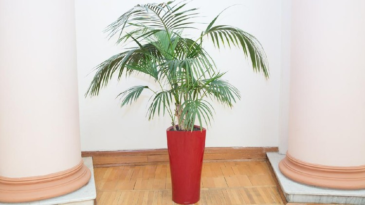 Indoor flower pots plants, large . Vases in a row . Green plant red pot . Decorative Areca palm in a red pot . Decorative Areca palm in interior of room