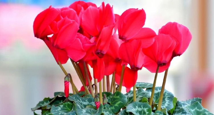 Tanaman hias bunga adalah dekorasi tepat untuk acara spesial seperti Lebaran. Berikut rekomendasi tanamannya, Bunda.