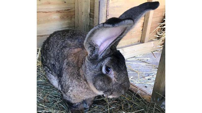 Seekor kelinci raksasa bernama Darius hilang dari rumahnya. Darius diduga dicuri dari pemiliknya di Worcestershire, Inggris.