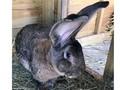 Mengenal Kelinci Raksasa Mirip Anjing yang Hilang di Inggris