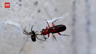 VIDEO: Fakta Jaring Laba-laba Mengeluarkan Bunyi