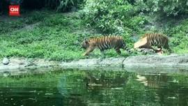 VIDEO: 2 Harimau Di Kebun Binatang Virginia Positif Covid-19
