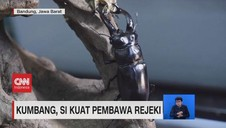 VIDEO: Kumbang, Si Kuat Pembawa Rejeki