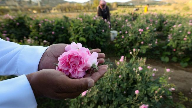 Kota Taif yang terletak di bagian barat Arab Saudi, Bulan Ramadan tahun ini berwarna merah muda dan mewangi seiring panen mawar sejak awal April.