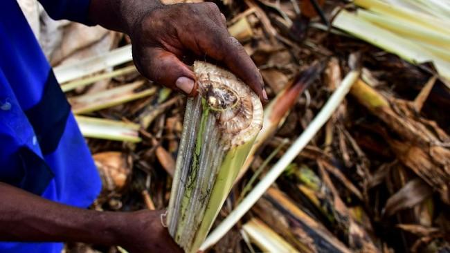 Pisang menjadi makanan favorit di Uganda. Di mata pengusaha, limbah pohon pisang dianggap