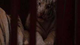 VIDEO: Harimau Bengal Lahirkan Harimau Putih Langka