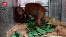 VIDEO: 2 Orangutan Sumatra 'Pulang' Ke Langkat Habitatnya