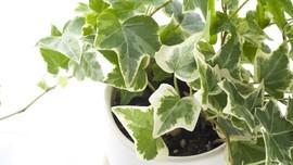 Mengenal Tanaman Hias Ivy dan Cara Merawatnya