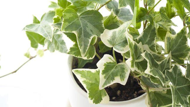 Tanaman hias ivy cukup populer sebagai tanaman hias gantung rumahan. Berikut cara merawat tanaman hias ivy.