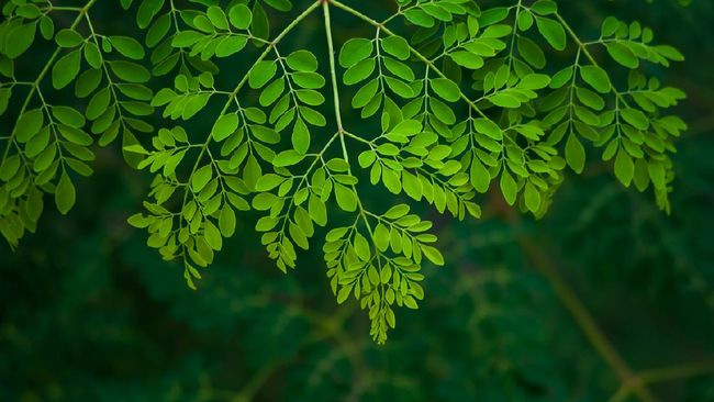 Daun kelor ternyata juga punya menyimpan banyak khasiat untuk perawatan kulit (skincare). Berikut manfaat daun kelor untuk kecantikan.