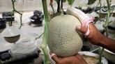 Setelah lebih dari satu dekade bereksperimen, sejumlah petani Jepang akhirnya menemukan ramuan rahasia yang tepat untuk budidaya melon Jepang yang mahal.