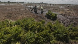 FOTO: Perkembangan Food Estate Jokowi di Kalimantan Tengah