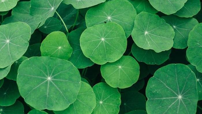 Tumbuh liar, Centella Asiatica Punya Banyak Manfaat untuk Kulit