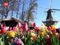 VIDEO: Bunga Tulip Keukenhof Mekar di Tengah Pandemi