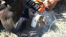 Perburuan Membantai Badak demi Cula Meningkat di Afsel