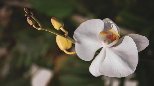 Tanaman hias dengan bunga berwarna putih cocok untuk dekorasi rumah saat Lebaran. Warna putih identik dengan sesuatu yang suci dan bersih, seperti Idulfitri.