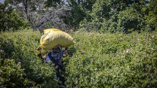 Pandemi membuat petani mawar di Maroko resah. Mereka harus mengumpulkan banyak bunga untuk menghasilkan minyak aroma yang uangnya cukup untuk hidup.