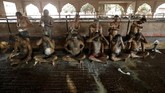Sejumlah warga di India percaya kotoran sapi dapat meningkatkan daya tahan tubuh untuk mencegah Covid-19. Namun, dokter menampik klaim tersebut.