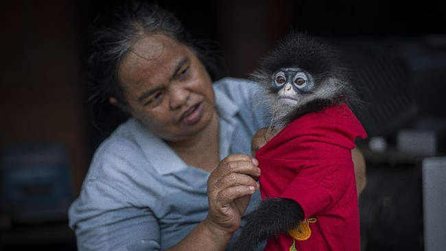 Kekah, primata endemik di Kabupaten Natuna, Kepulauan Riau kini terancam punah. Sejumlah pihak mendesak pemerintah untuk melindungi kekah di Natuna.
