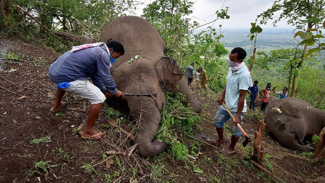 Setidaknya 18 ekor gajah dilaporkan mati karena sambaran petir di daerah timur laut India pada Rabu (12/5).