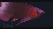 VIDEO: Daya Pikat Ikan Hias Indonesia