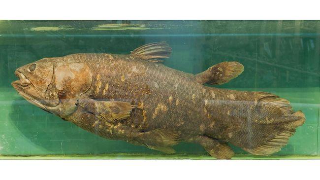 Ikan purba Coelacanth yang dinyatakan punah dan terakhir terlihat 1938 secara tak sengaja ditemukan di lepas pantai Madagaskar.