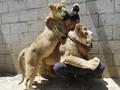 FOTO: Fathy dan Filisteen, Anak Singa Peliharaan Warga Gaza