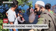 VIDEO: Wujud Dugong Seberat 2 Ton Yang Terdampar di Laut