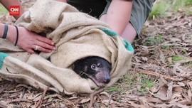 VIDEO: Momen Langka Tasmanian Devils Melahirkan di Australia