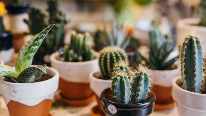 Cara Merawat Tanaman Kaktus Agar Tumbuh Cantik dan Segar