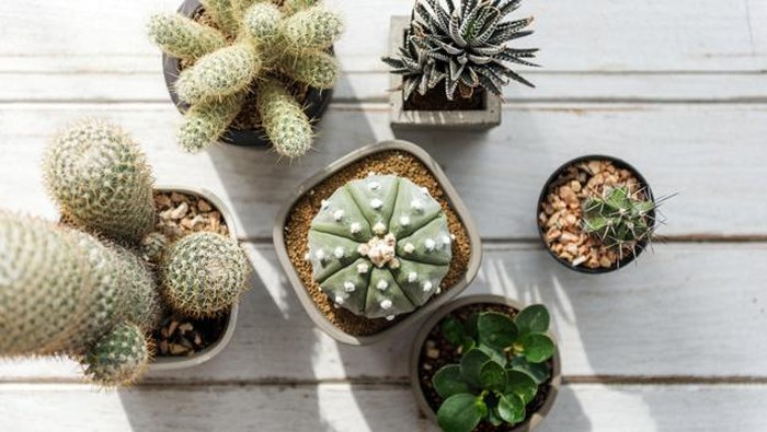 Unik dan Indah, Intip Jenis Kaktus yang Dapat Menghiasi Rumah