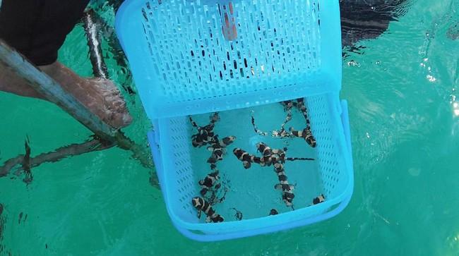 Para peneliti dan penyelam di Thailand melepaskan anak-anak hiu bambu ke laut setelah mereka rawat sebagai upaya pelestarian hewan tersebut agar tidak punah.