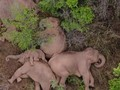 VIDEO: Momen Kawanan Gajah Tidur Siang Bersama Saat Migrasi