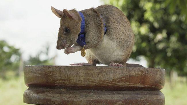 Seekor tikus raksasa Afrika yang diberi nama Magawa telah menghabiskan bertahun-tahun mengendus ranjau darat di pedesaan Kamboja.