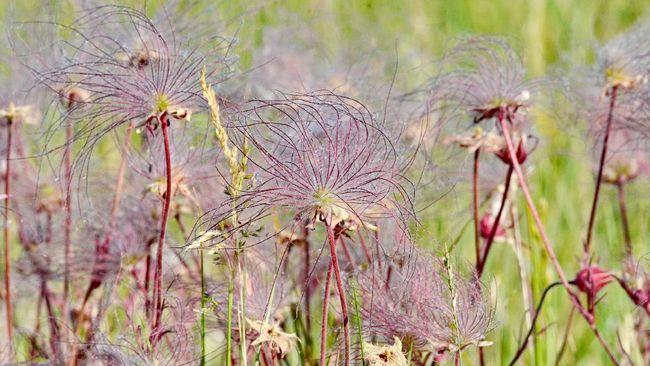 Jika Anda suka tanaman yang kuat dan berbunga, tanaman gulali atau Prairie smoke bisa jadi pilihan.