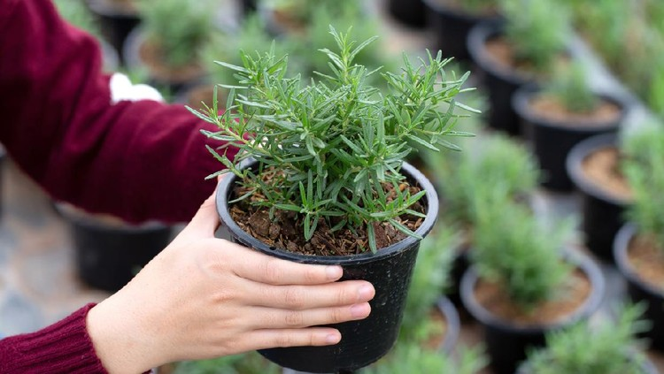 Woman holding a flowerpot of growing rosemary in her hand.