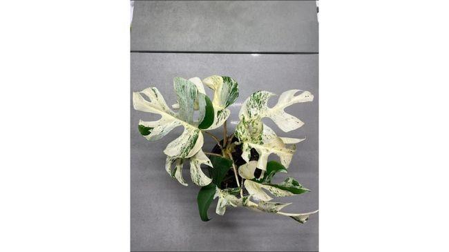 Satu pot tanaman hias telah menciptakan rekor baru dengan terjual senilai US$19.297 atau sekitar Rp274 juta di situs lelang Selandia Baru.