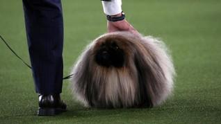 FOTO: Aksi Lucu Anjing-anjing di Kontes Westminster Dog Show