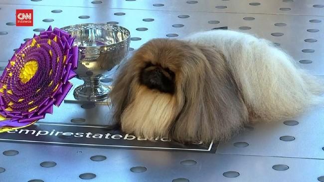 VIDEO: Kemenangan Wasabi di Kontes Anjing Westminster