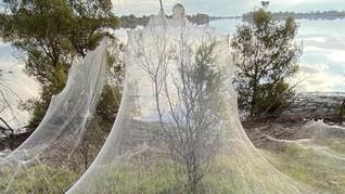 FOTO: Jaring Laba-laba Selimuti Semak Belukar di Australia