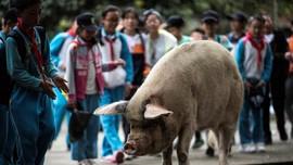 China Berduka atas Kematian Babi Kuat Penyintas Gempa 2008