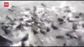 VIDEO: Kapal Nyaris Tenggelam Diserbu Singa Laut