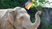 Euro 2020: Gajah Yashoda Ramal Jerman Kalahkan Portugal