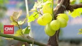 VIDEO: Petani Anggur di Belantara Ibu Kota