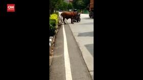 VIDEO: Sapi Limosin Mengamuk, Beberapa Kendaraan Rusak