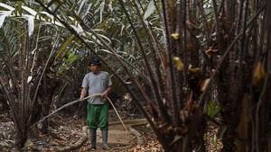 FOTO: Menyusuri Kebun Salak Condet, Sang Maskot Jakarta