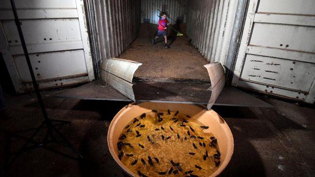 Wabah tikus di Australia telah memberikan kesengsaraan baik dari petani yang hasil pertaniannya rusak hingga para napi di lapas.