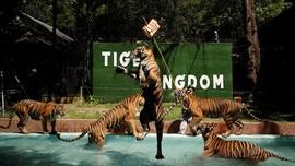 FOTO: Harimau di Phuket Bersiap Sambut Wisatawan