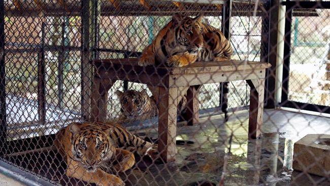 Dokter hewan memberi penjelasan terkait kasus Covid-19 pada dua harimau Sumatera di Ragunan, Tino dan Hari.